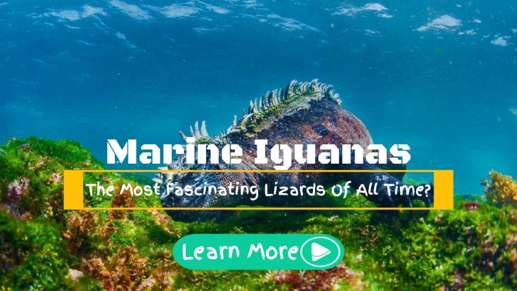 marine iguanas friendly