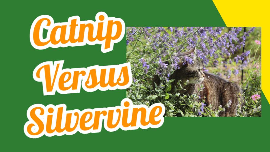 catnip versus silervine